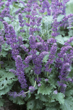 Lilac Sage (Salvia 'Purple Rain') Photographic Print by Adrian Thomas