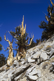 Bristlecone Pine Trees Print by Jeremy Walker