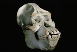 Male Orangutan Skull Photographic Print by Javier Trueba