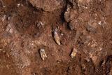 Fossilised Teeth, Gran Dolina Photographic Print by Javier Trueba