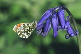 Orange Tip Butterfly Fotodruck von Colin Varndell