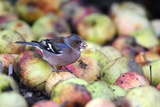 Chaffinch Male Eating An Apple Pip Fotodruck von Colin Varndell