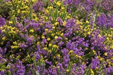 Heather And Gorse Photographic Print by Colin Varndell