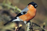 Common Bullfinch Male Fotodruck von Colin Varndell