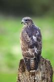 Common Buzzard Fotodruck von Colin Varndell