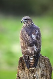 Common Buzzard Photographic Print by Colin Varndell