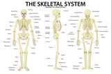 The Skeletal System Anatomy and Physiology Science Chart Plastic Sign Plastic Sign