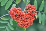 Rowan Berries Fotodruck von Colin Varndell