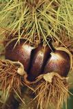 Sweet Chestnuts Fotodruck von Colin Varndell