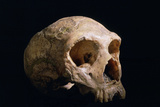 Neanderthal Skull Poster by Javier Trueba