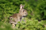 European Rabbit Fotodruck von Colin Varndell
