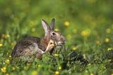 European Rabbit Fotografie-Druck von Colin Varndell