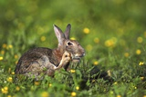 European Rabbit Photographic Print by Colin Varndell