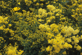 Goldenrod (Solidago 'Cloth of Gold') Photographic Print by Adrian Thomas