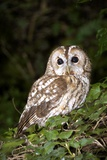 Tawny Owl Photographic Print by Colin Varndell