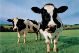 Two Holstein Cows in Grass Field Plastic Sign Wall Sign