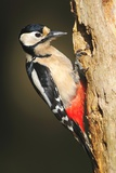 Great Spotted Woodpecker Fotodruck von Colin Varndell