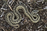 Common Adder Photo by Colin Varndell