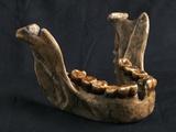 Homo Floresiensis Mandible Photographic Print by Javier Trueba