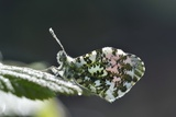 Orange Tip Butterfly Covered In Dew Fotodruck von Colin Varndell