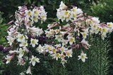 Regal Lily (Lilium Regale) Fotografie-Druck von Colin Varndell