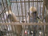 Monkey Trafficking Photographic Print by Javier Trueba