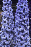 Delphinium 'Spindrift' Photographic Print by Adrian Thomas