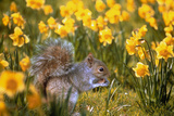 Grey Squirrel Amongst Daffodils Eating a Nut Photographic Print by Geoff Tompkinson