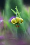 Pyrenean Lily (Lilium Pyrenaicum) Flower Fotodruck von Colin Varndell