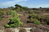 Studland Heath Photographic Print by Colin Varndell