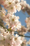 Cherry Blossom (Prunus 'Accolade') Photographic Print by Adrian Thomas