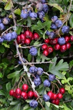Sloe And Hawthorn Berries Fotodruck von Colin Varndell