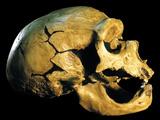 Neanderthal Skull Photographic Print by Javier Trueba