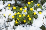 Winter Aconite (Eranthis Hyemalis) Photographic Print by Adrian Thomas