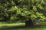 Horse Chestnut (Aesculus Hippocastanum) Fotografie-Druck von Colin Varndell