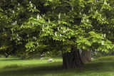 Horse Chestnut (Aesculus Hippocastanum) Photographic Print by Colin Varndell