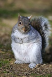 Grey Squirrel Sitting on the Ground Photographic Print by Colin Varndell