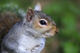 Grey Squirrel Prints by Colin Varndell