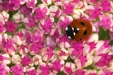 Seven-spot Ladybird on Sedum Flowers Poster by Colin Varndell