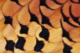 Pheasant Plumage Fotografie-Druck von Colin Varndell