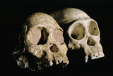 Skulls of Tuang Child And a Chimpanzee Poster by Javier Trueba