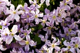 Clematis 'Prince Charles' Photographic Print by Adrian Thomas