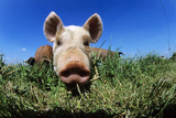 Piglet Posters by Jeremy Walker