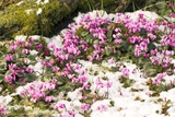 Cyclamen Hederifolium Photographic Print by Adrian Thomas