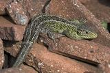 Male Sand Lizard Posters par Colin Varndell