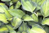 Hosta 'June' Photographic Print by Adrian Thomas