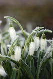 Snowdrops (Galanthus Sp.) Poster by Colin Varndell