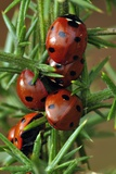 Seven-spot Ladybirds Photographic Print by Colin Varndell