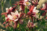 Aquilegia Caerulea 'Red Hobbit' Photographic Print by Adrian Thomas
