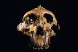 Paranthropus Boisei Skull Photographic Print by Javier Trueba
